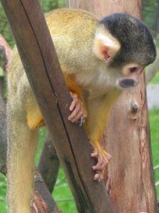 674px-Squirrel_monkey